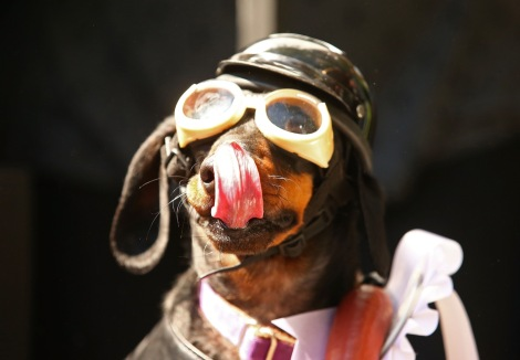 MELBOURNE, AUSTRALIA - SEPTEMBER 19: Mini dachshund Chilli, dressed as a biker dog licks her lips as she competes in the Hophaus Southgate Inaugural Best Dressed Dachshund competition on September 19, 2015 in Melbourne, Australia. 30 mini dachshunds, 6 standard dachshunds and 18 dachshund puppies all competed for first place and for Best Dressed Dachshund during the annual Oktoberfest celebration. (Photo by Scott Barbour/Getty Images)