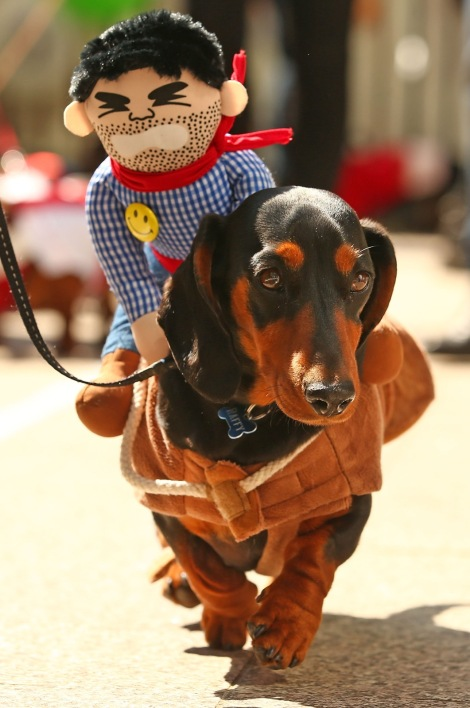 MELBOURNE, AUSTRALIA - SEPTEMBER 19: A mini dachshund competes in the Hophaus Southgate Inaugural Best Dressed Dachshund competition on September 19, 2015 in Melbourne, Australia. 30 mini dachshunds, 6 standard dachshunds and 18 dachshund puppies all competed for first place and for Best Dressed Dachshund during the annual Oktoberfest celebration. (Photo by Scott Barbour/Getty Images)